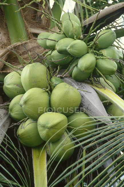 Палм-з кокосами, крупним планом — стокове фото