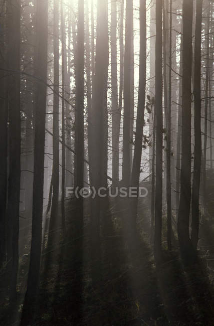 Trees in misty wood — Stock Photo