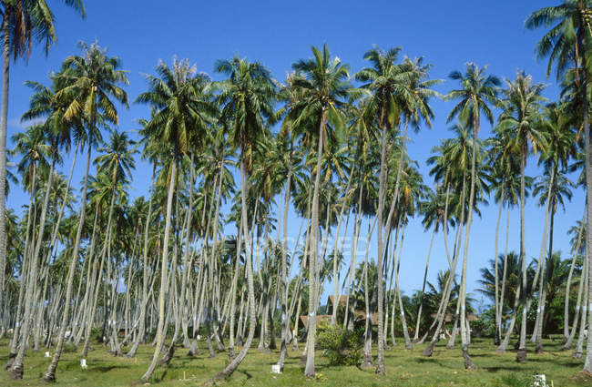 Antilles, Guadalupe, palm trees — Stock Photo