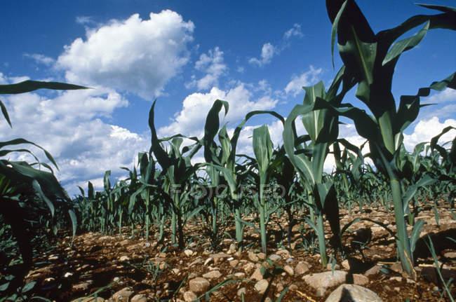 Italia, piantagione di mais — Foto stock