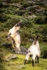 Luta de cabras de montanha — Fotografia de Stock