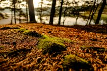 Pine tree forest floor — Stock Photo
