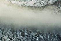 Abetos nevados en Ehrwald - foto de stock