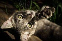 Сірий кошеня, граючи в траві — стокове фото