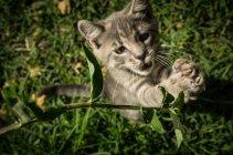 Chaton gris jouant dans l'herbe — Photo de stock