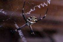 Araignée de guêpe sur le web — Photo de stock
