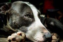 Портрет собаки, снимок головы — стоковое фото