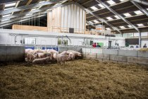 Netherlands Pig farm — Stock Photo