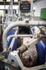 Porcs domestiques à la ferme industrielle — Photo de stock