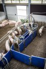 Domestic pigs at industrial farm — Stock Photo