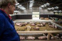Нідерланди свиноферма — стокове фото