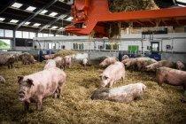 Свиней в сіно поверхні на фермі — стокове фото