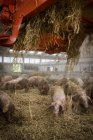 Pigs in hay surface at farm — Stock Photo