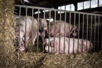 Свиньи в клетке на ферме — стоковое фото