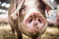 Snoot cochon rose — Photo de stock