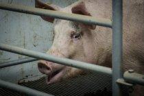 Свиня спиною металевий паркан — стокове фото