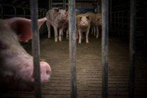 Свині стояв за металеву огорожу — стокове фото