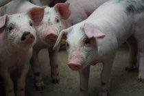 Домашних свиней на промышленной ферме — стоковое фото