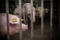 Свиней в клітці у фермі — стокове фото