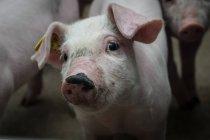 Промышленной свиноферме — стоковое фото