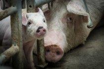 Cerdos domésticos en la granja industrial - foto de stock