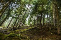 Spruces on mountain hill — Stock Photo