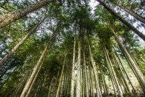 Árboles de abeto en colina de la montaña - foto de stock