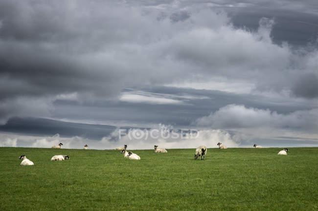 Schafherde auf dem Rasen — Stockfoto