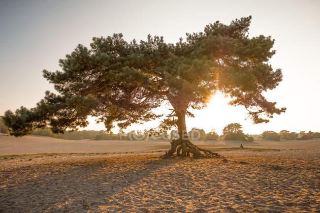 Сосна в песке на закате — стоковое фото