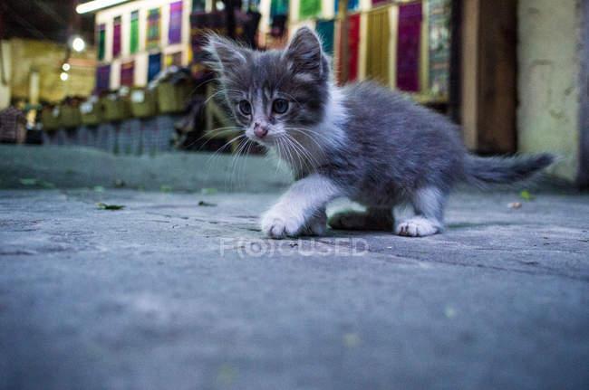 Little gray and white kitten — Stock Photo