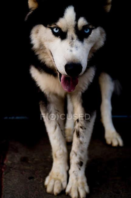 Cão husky lindo — Fotografia de Stock