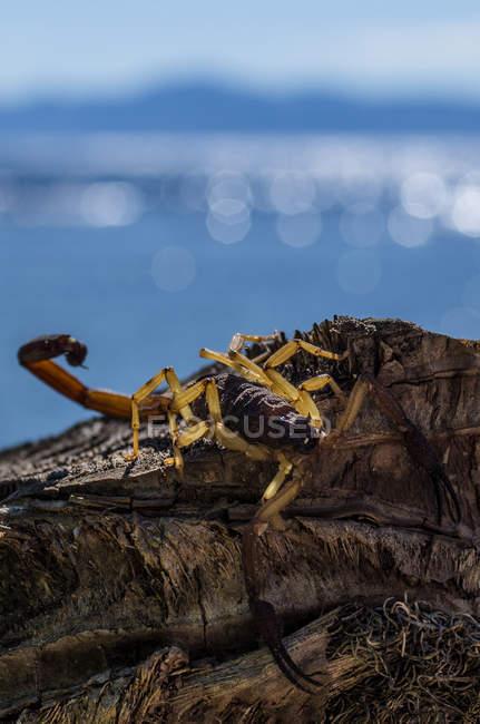 Scorpione su legno morto — Foto stock