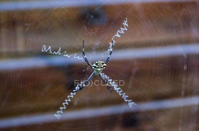 Aranha de vespa na web — Fotografia de Stock