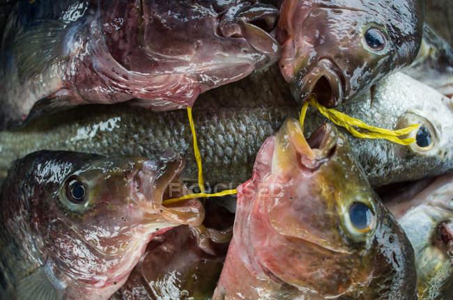 Frisch gefangener Fisch — Stockfoto