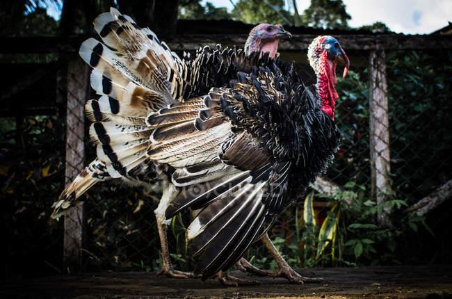 Two turkeys walking — Stock Photo