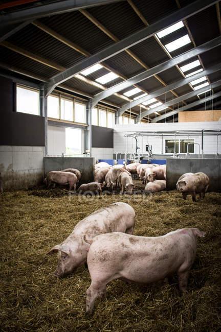 Cerdos domésticos en granja industrial - foto de stock
