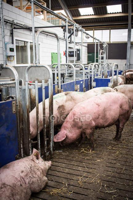 Домашние свиньи на промышленной ферме — стоковое фото