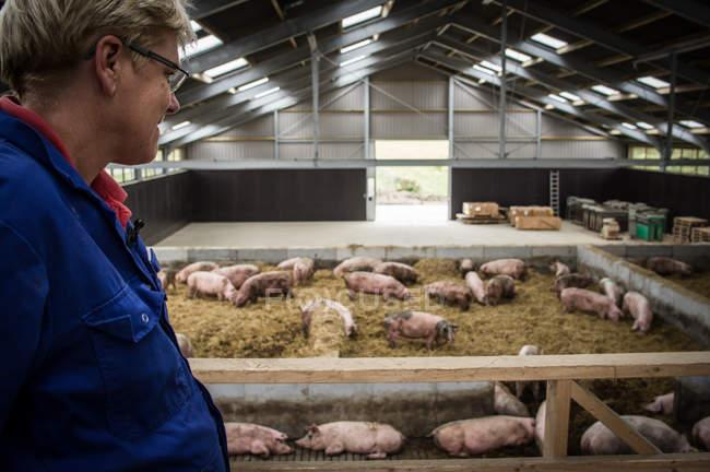 Países Baixos Exploração de suínos — Fotografia de Stock