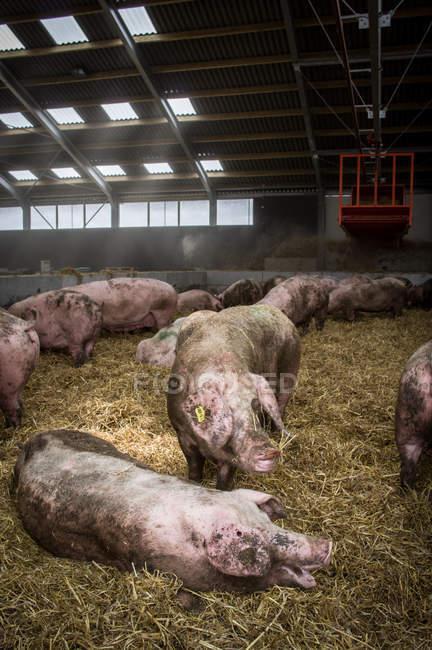 Cerdos en superficie de heno en la granja - foto de stock