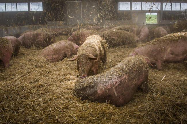 Schweine im Heuboden auf Bauernhof — Stockfoto