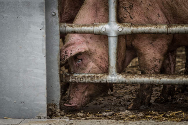 Pig at cage in farm — Stock Photo