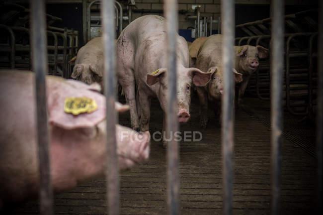 Cerdos en jaula en la granja - foto de stock