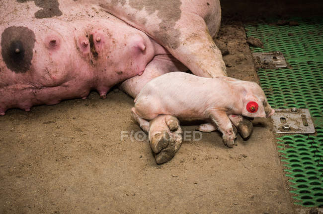 Industrial pig farm — Stock Photo
