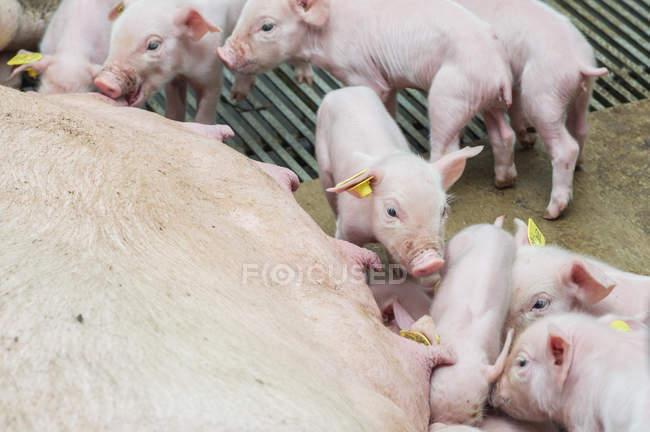 Lechones que beben leche de mami cerdo - foto de stock