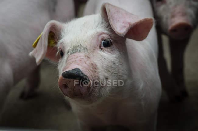 Granja porcina industrial - foto de stock