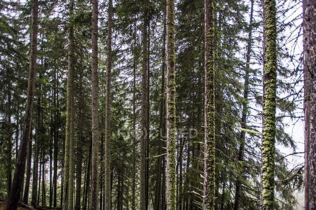 Épinettes sur la colline de montagne — Photo de stock