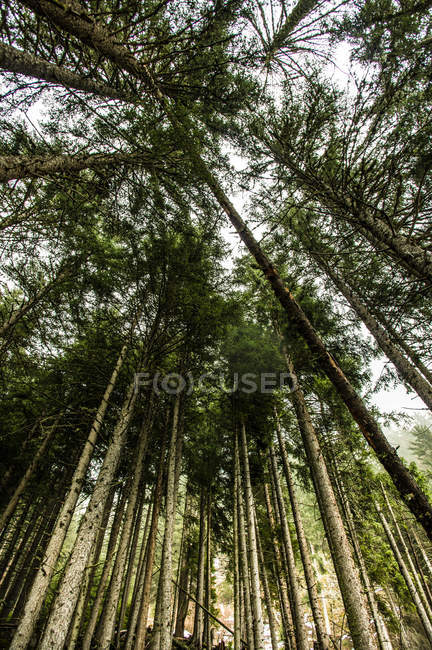 Spruce trees on mountain hill — Stock Photo