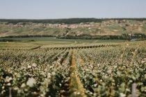 Flower field in France — Stock Photo