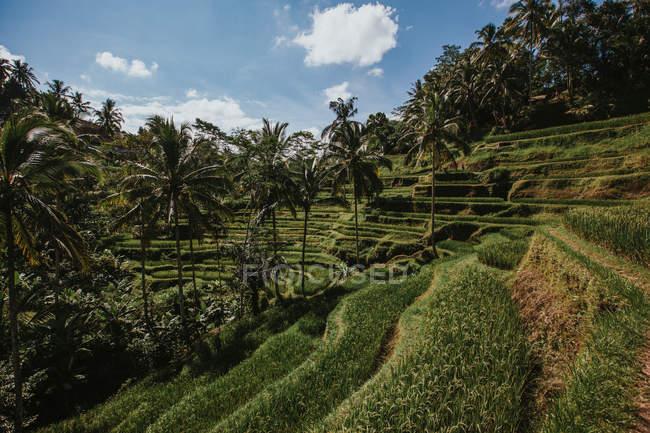 Campo de arroz paddy na inclinação — Fotografia de Stock