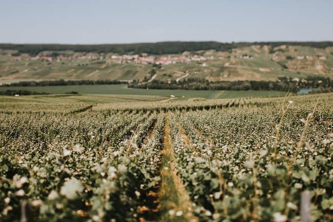Blumenfeld in Frankreich — Stockfoto